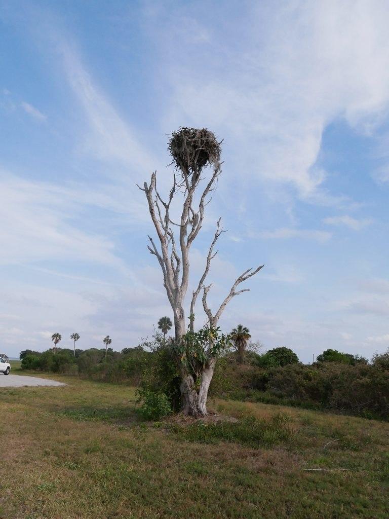 Everglades - Nid de balbuzards pecheur