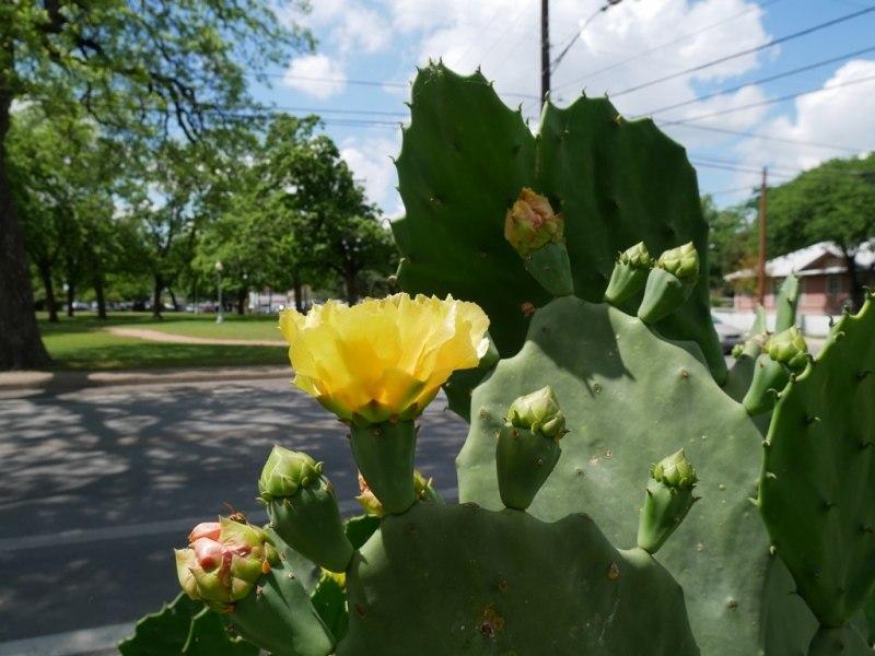 Cactus à San Antonio