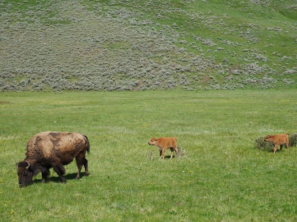 Animaux Lamar Vallée - bisons et bébés à Yellowstone