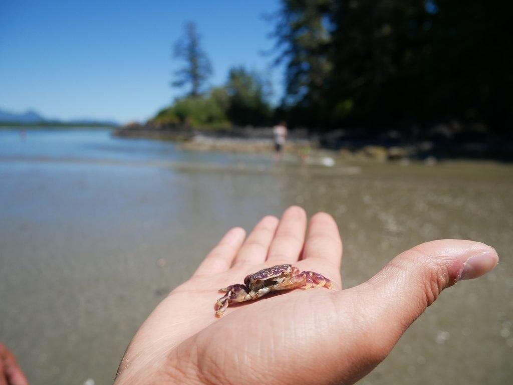Carapace de crabe ayant mué - Pacific Rim