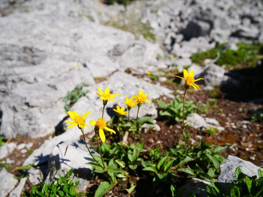 Fleurs des montagnes à Banff