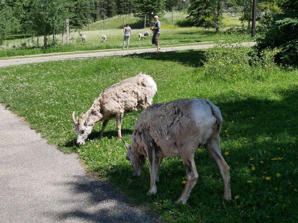 Mouflonnes aux Sources Miette - Jasper