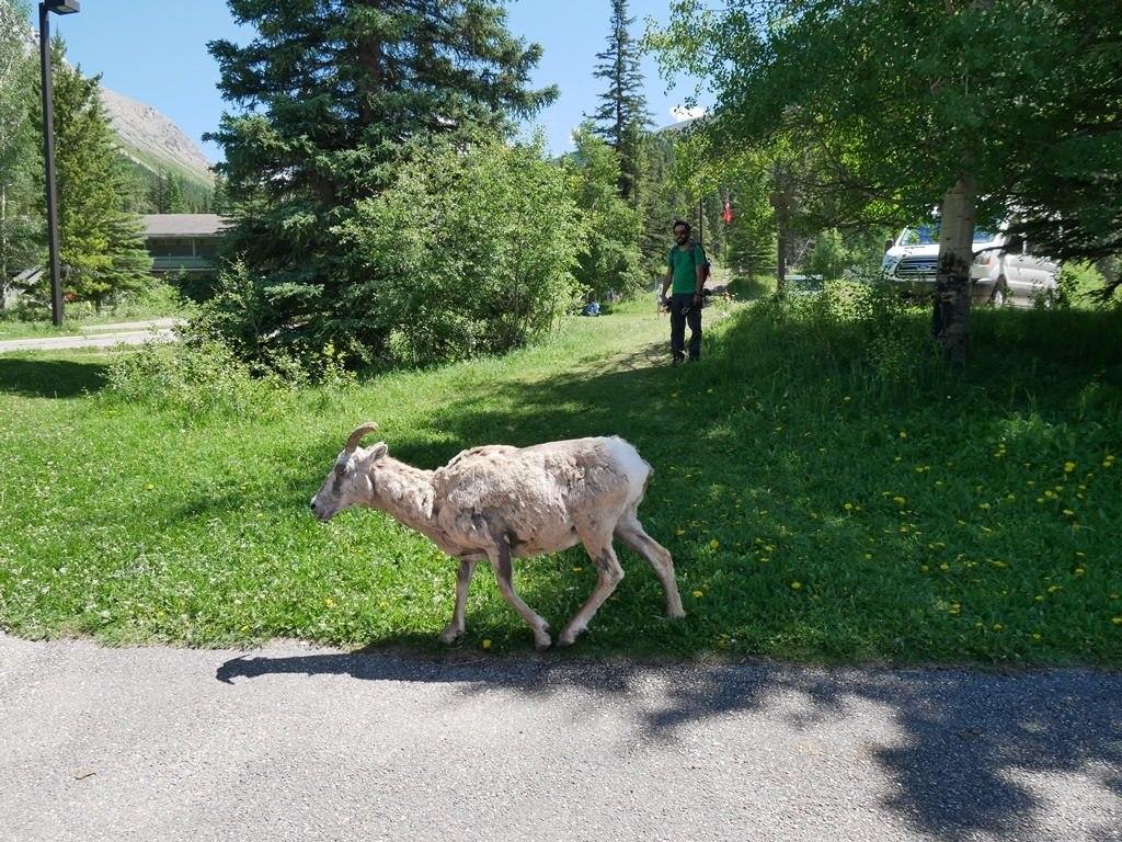 Mouflonne aux Sources Miette - Jasper