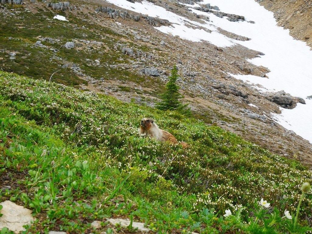 Marmotte à Banff