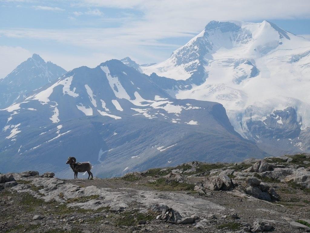 Wilcox Pass Trail - Big Horn Sheep