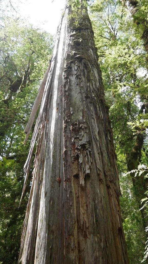 Parc Pumalin Alcerce millénaire avec écorce arrachée