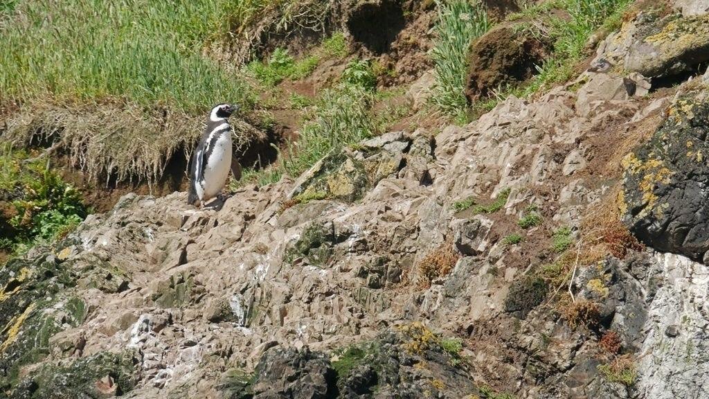 Pingouins Magellans à Chiloe