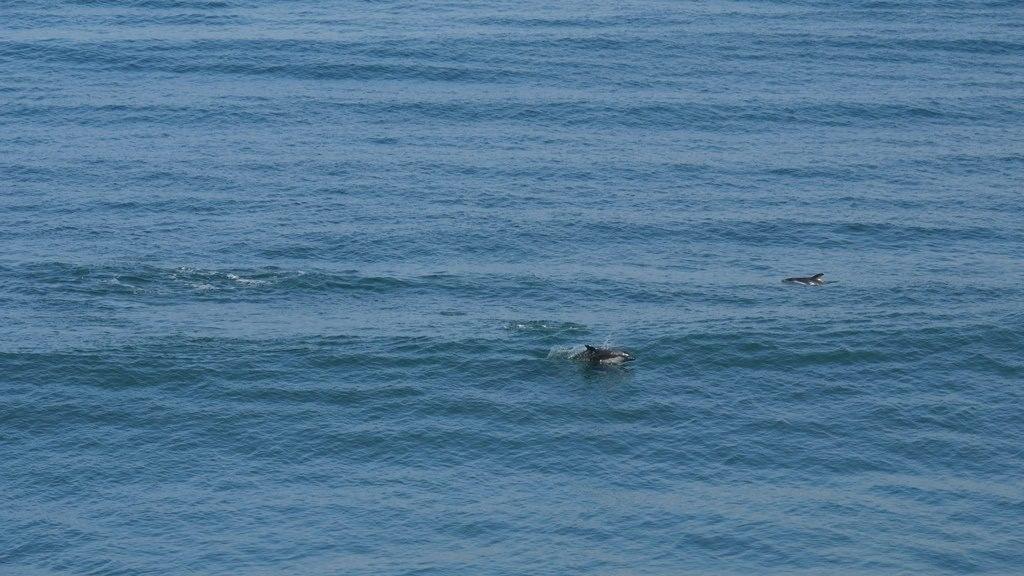 Dauphins sur Chiloe