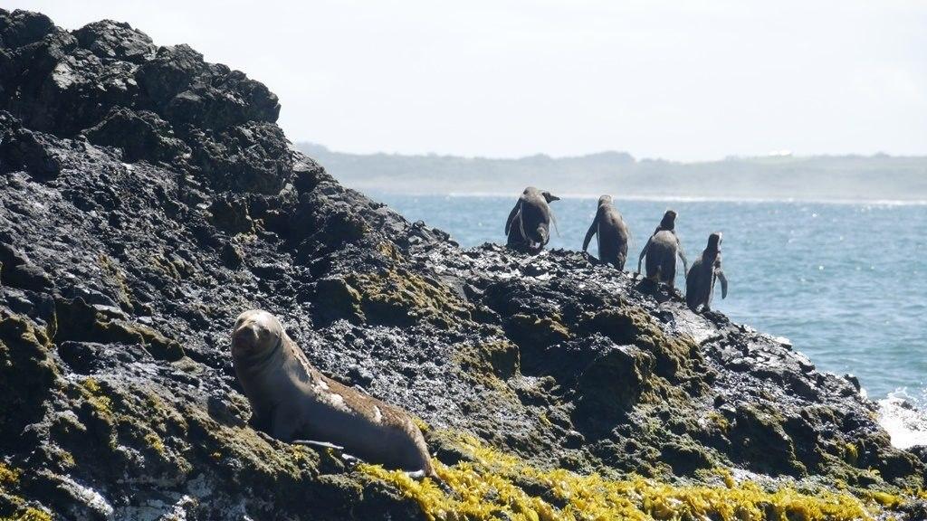 Pingouin et loup de mer à Chiloe