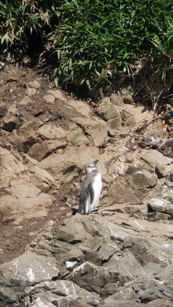 Pingouin humbolt à Chiloe