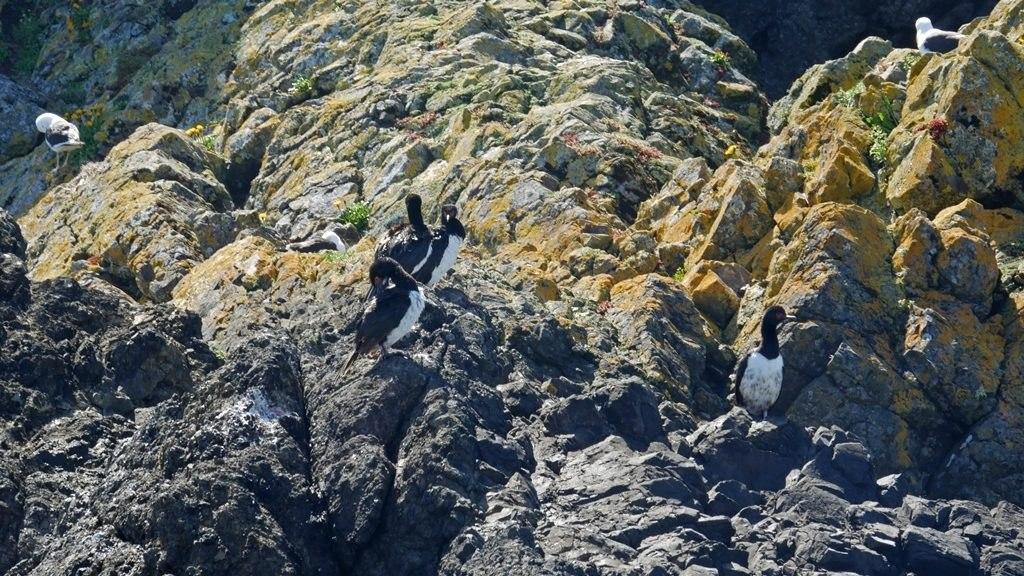 Cormorans à Chiloe
