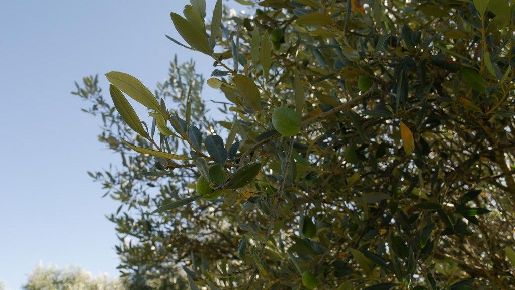 Des olives vertes chez Yancanelo à San Rafael dans la région de Mendoza