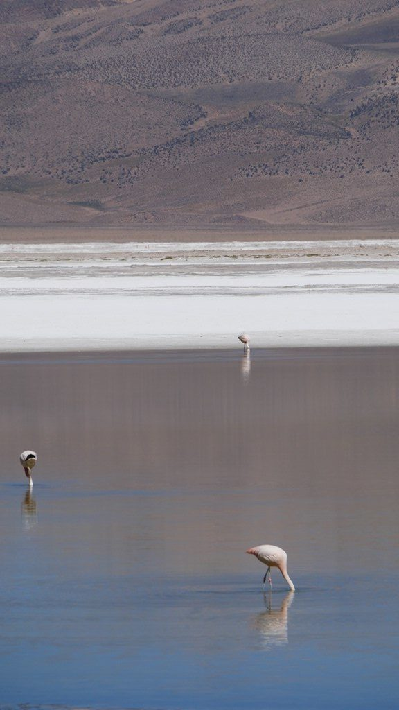 Flamants Salar Surire