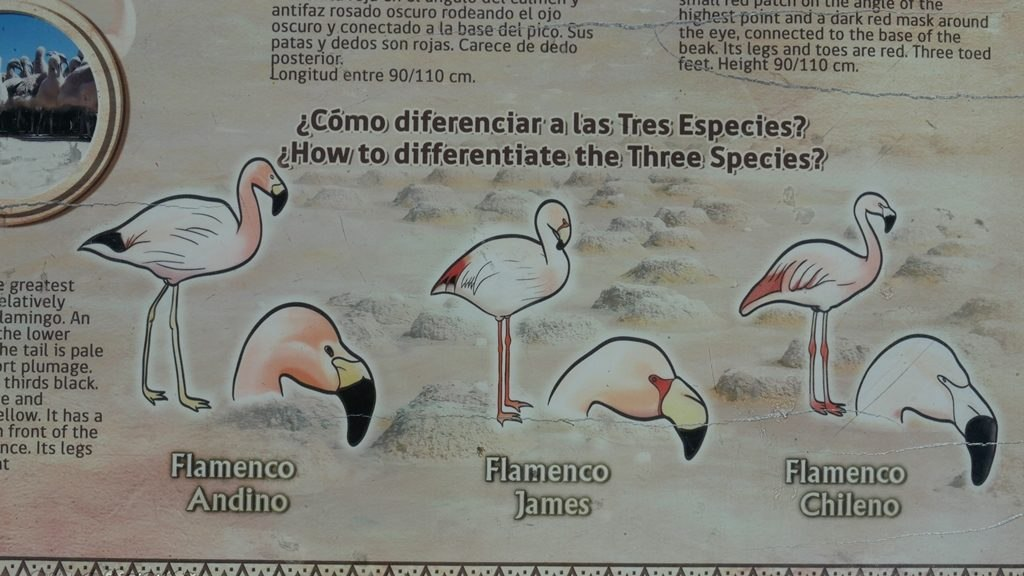 Les types de flamants du Parc Lauca