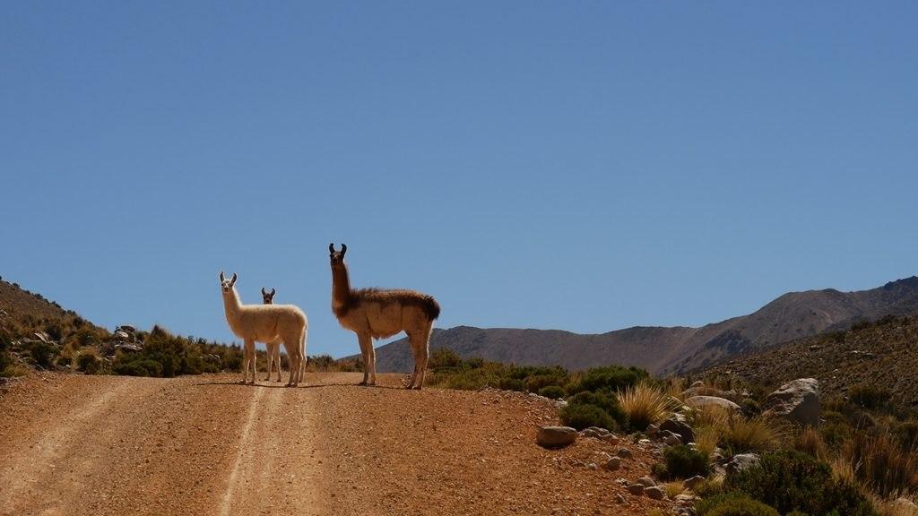 Rencontre avec des lamas Parc Lauca