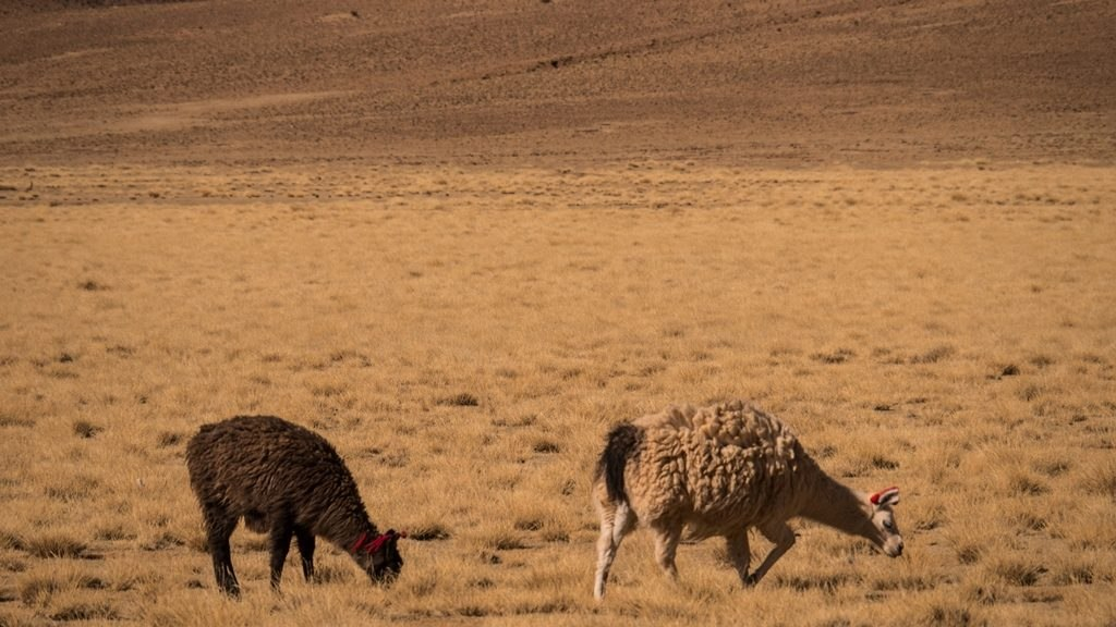 Attention Llamas - Sud Lipez